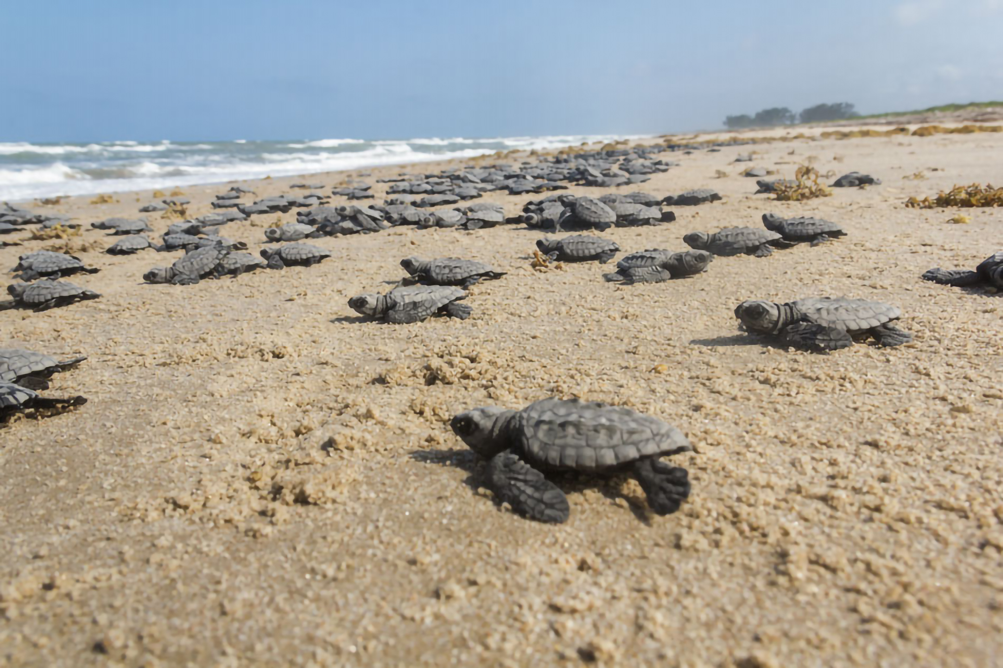 Dozens of juvenile sea turtles on a beach, heading to the Gulf of Mexico. Deepwater Horizon Sea Turtle Early Restoration Project.