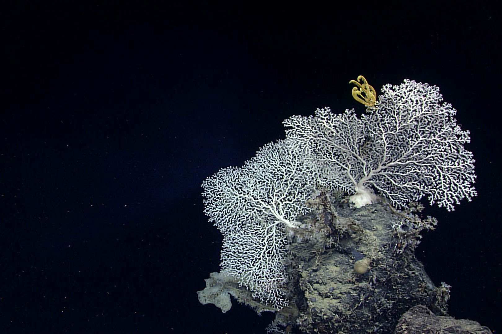 A yellow crinoid perched on precious coral on a deep sea reef in the Gulf of Mexico