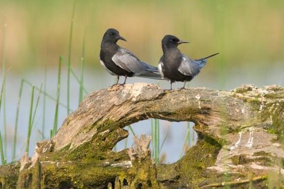 Two black terns perching on a log.