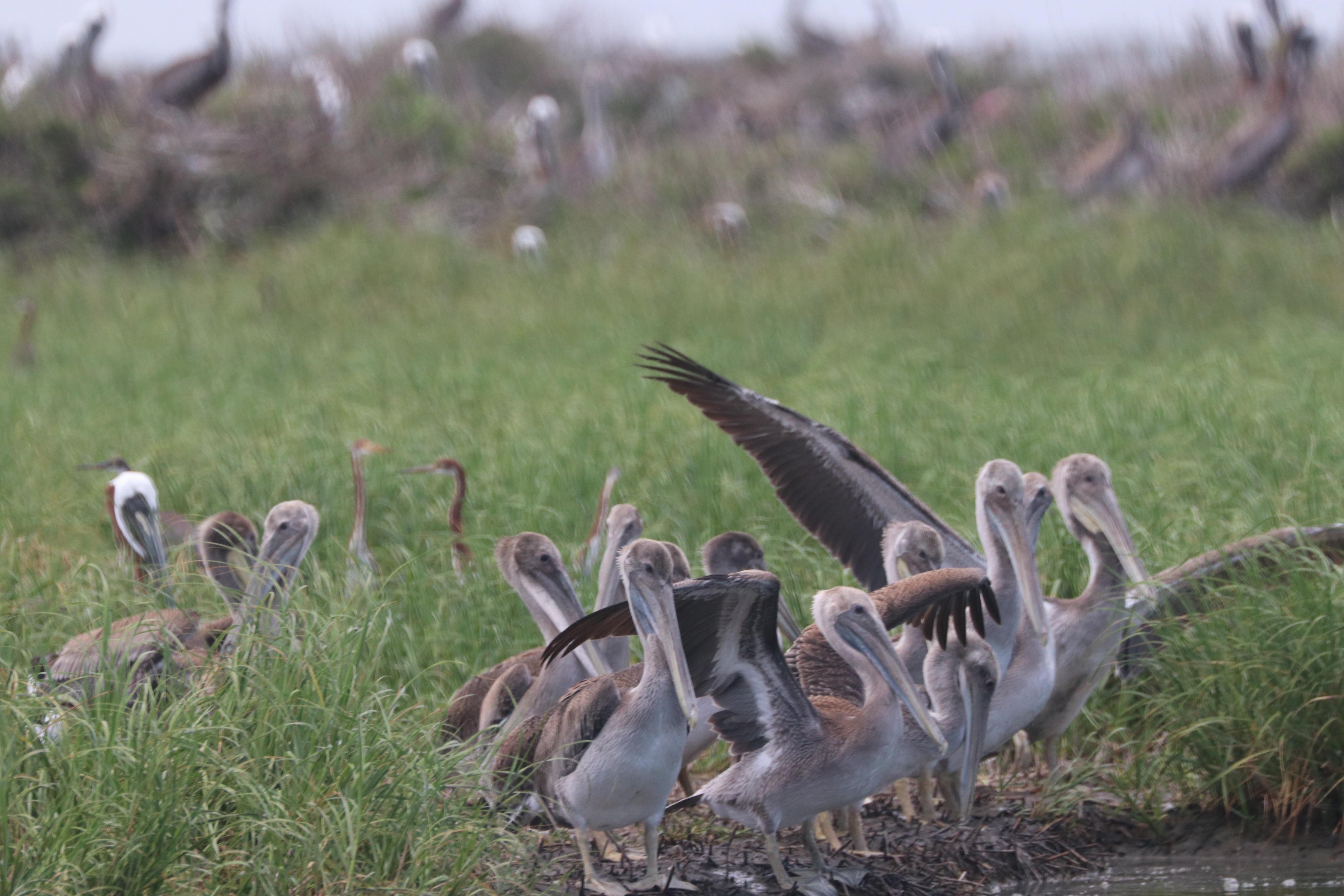 Juvenile pelicans on Queen Bess Island.