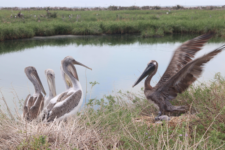 An adult pelican greets juveniles on Queen Bess Island.