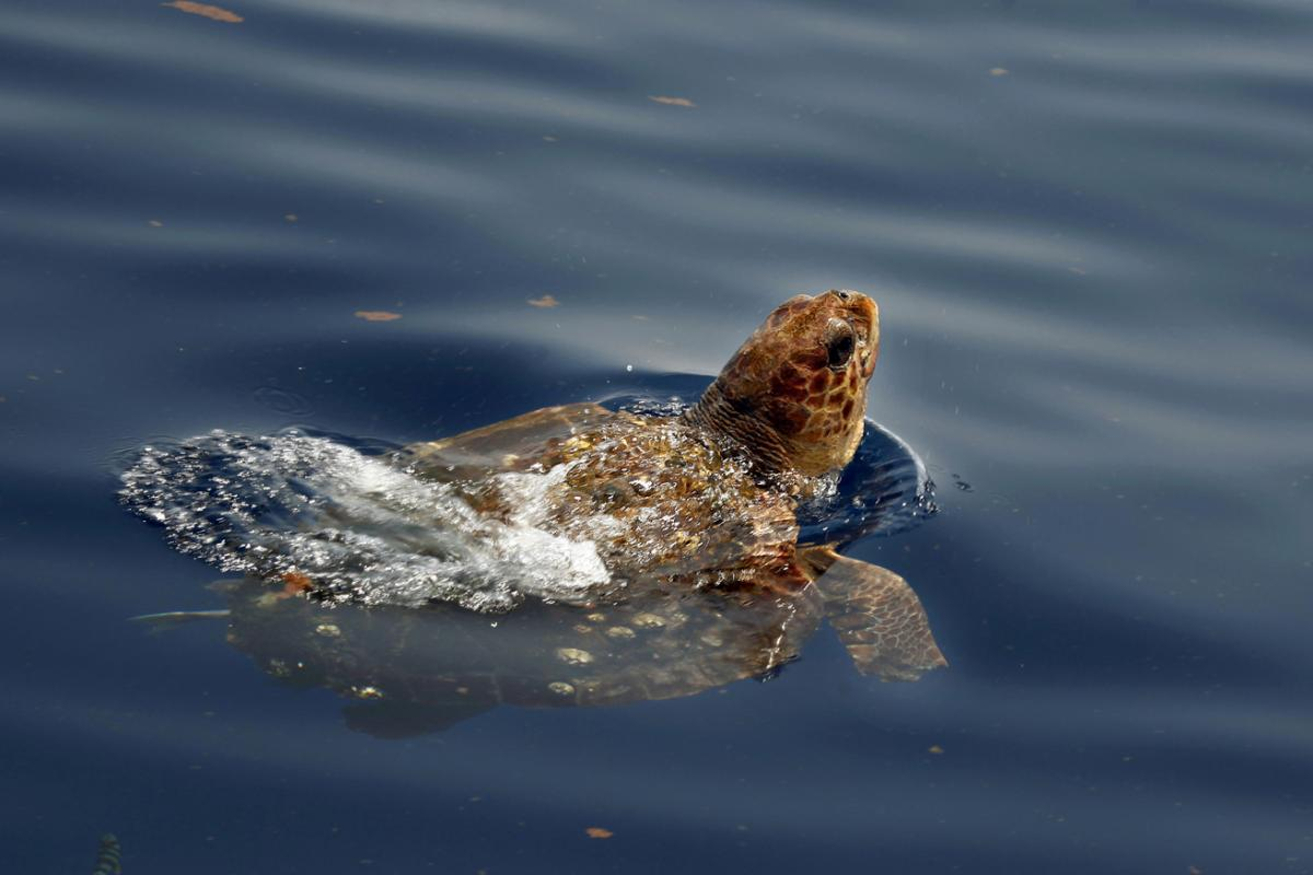 Loggerhead turtle on the surface in the Gulf of Mexico.