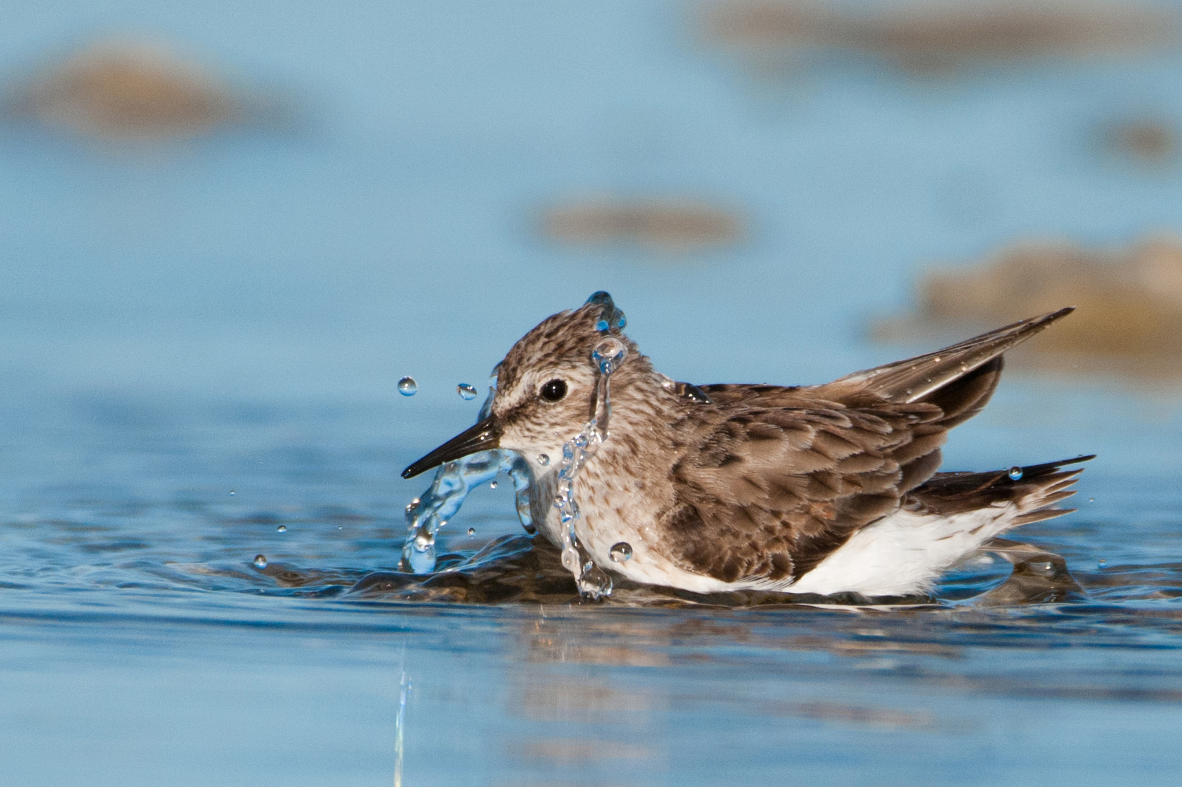 A Least Sandpiper splashing on the water. Water droplets surround it from the splash.
