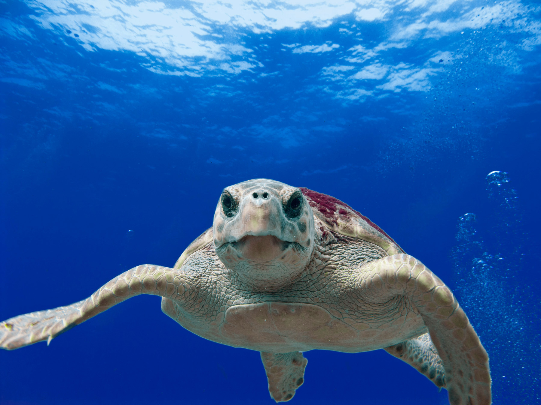 Sea Turtle in the Gulf of Mexico. Credit U.S. Dept of Commerce