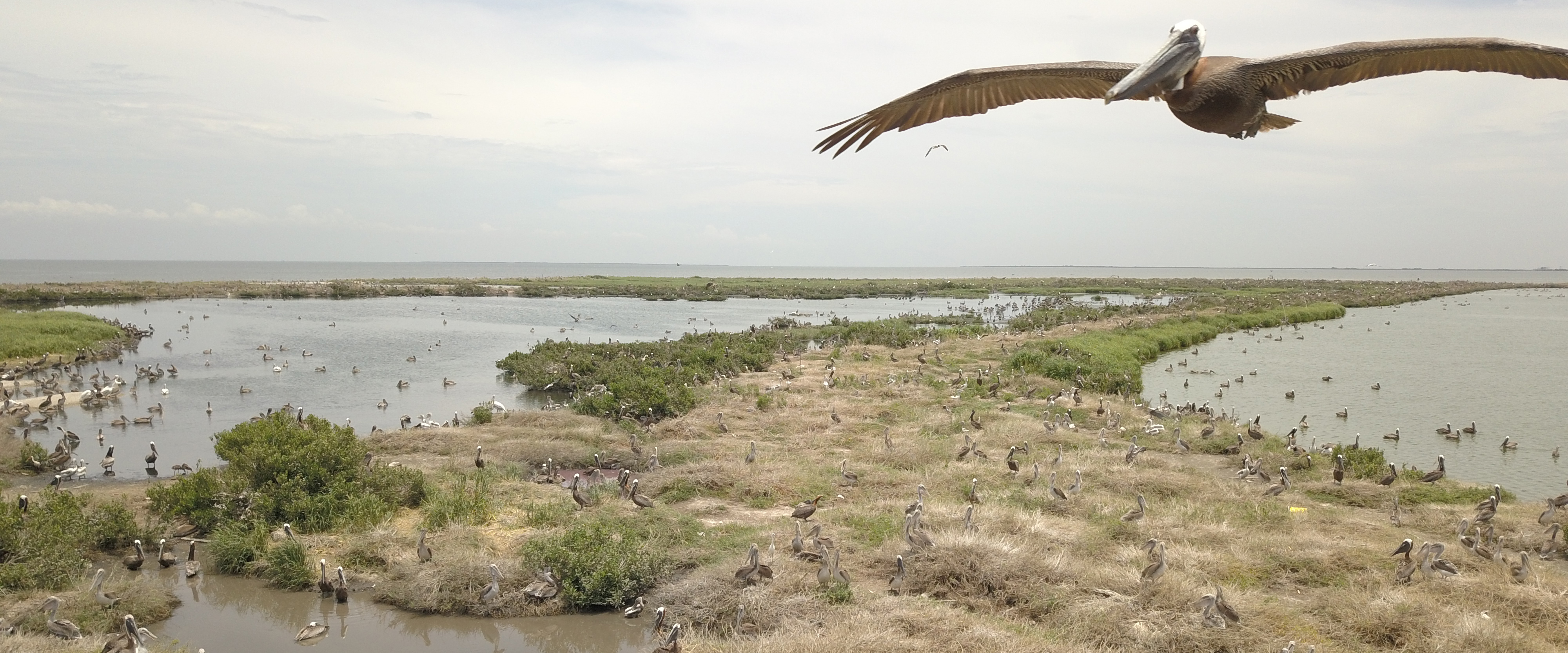 Island Restoration Project Expected to Play Key Role in Future of Brown Pelican