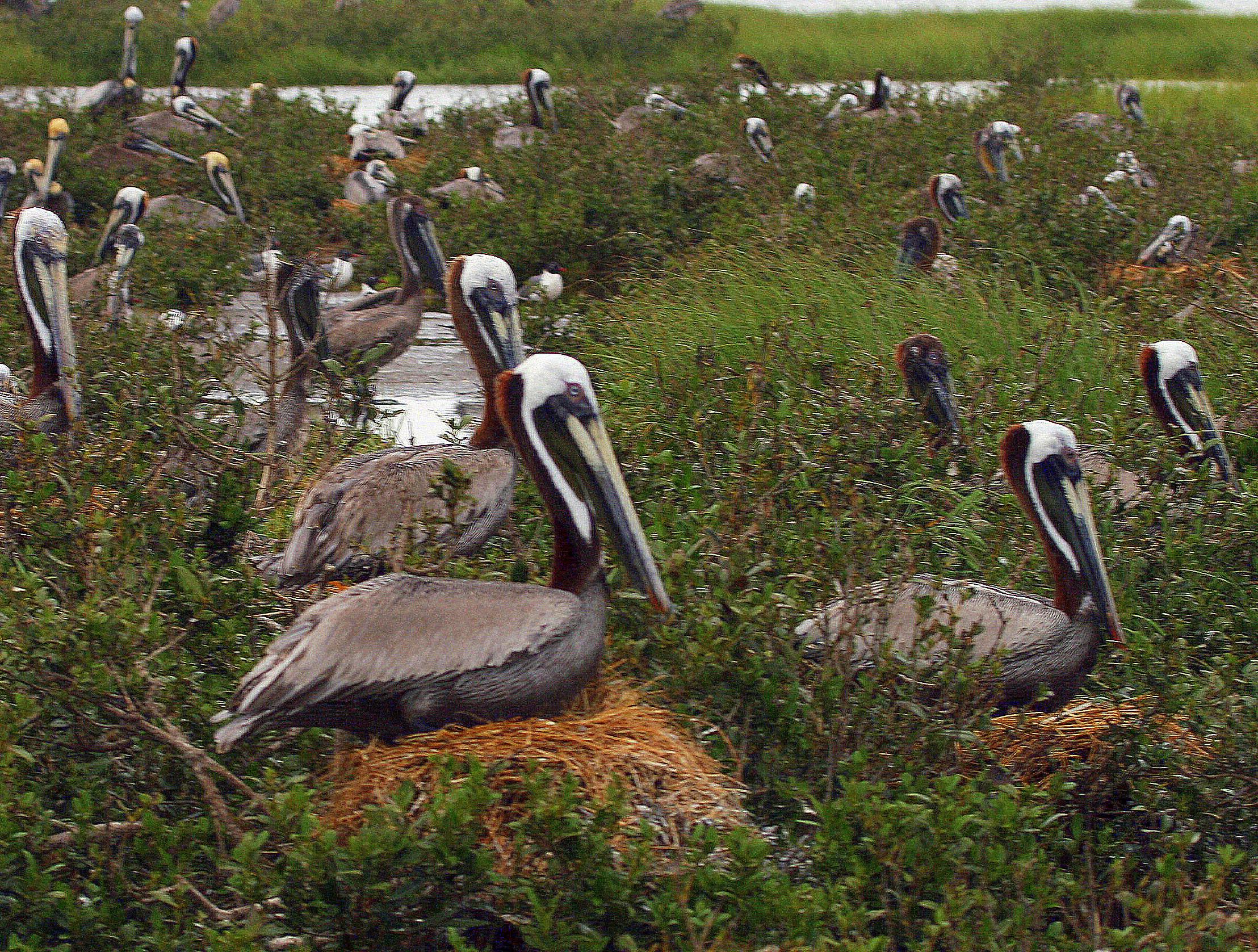 Nesting brown pelicans