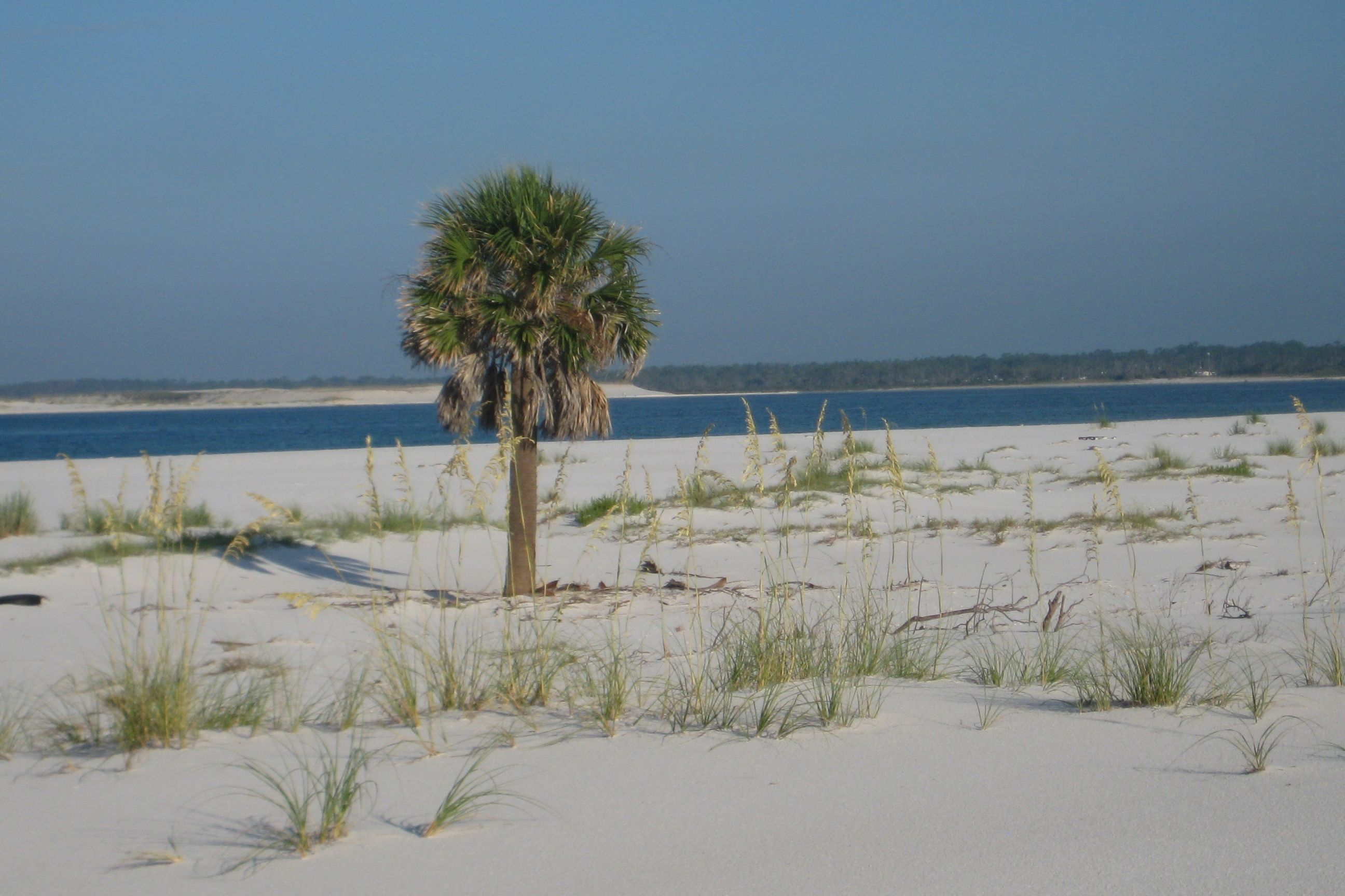 Small palm stands alone on a beach on Santa Rosa Island in Florida. The sea is in the background.