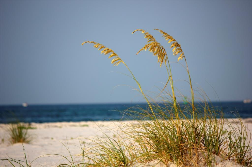 Sea oats grow on a beach on the Florida Gulf Coast.