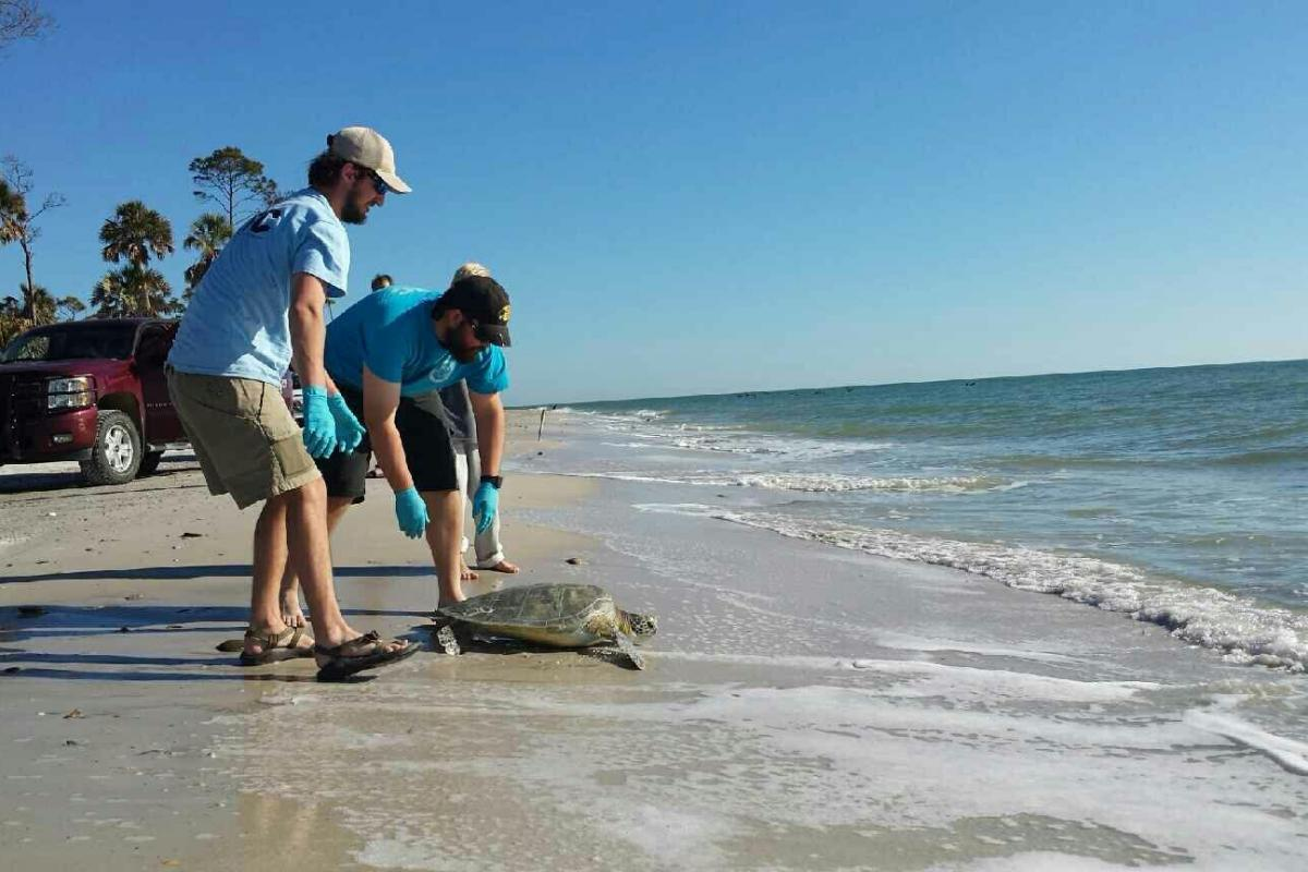 Two agency employees release a rehabilitated sea turtle.