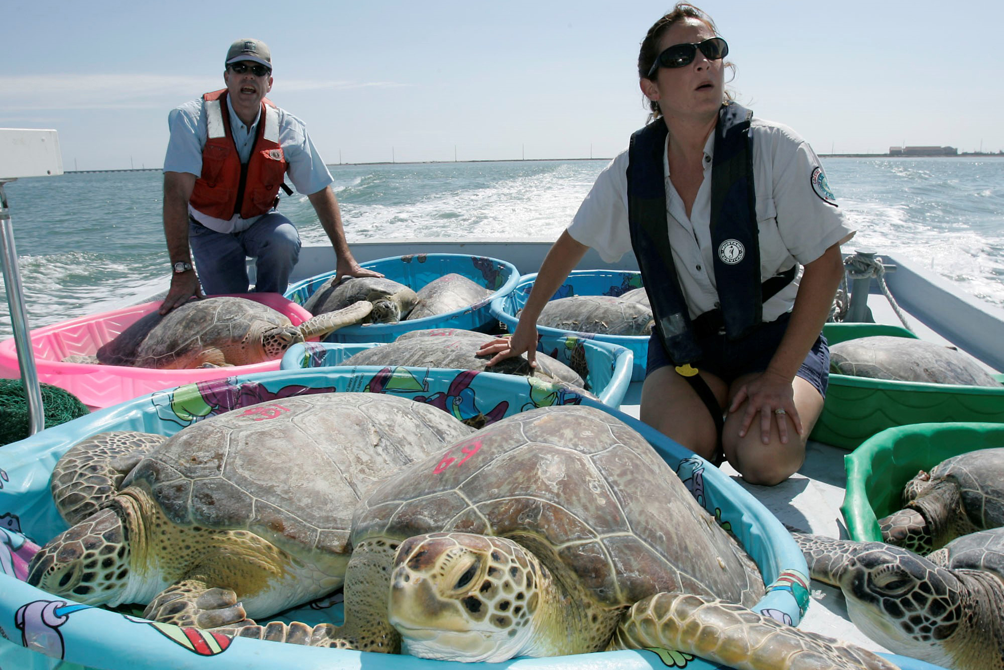Scientists transport rehabilitated sea turtles to release them in the water.
