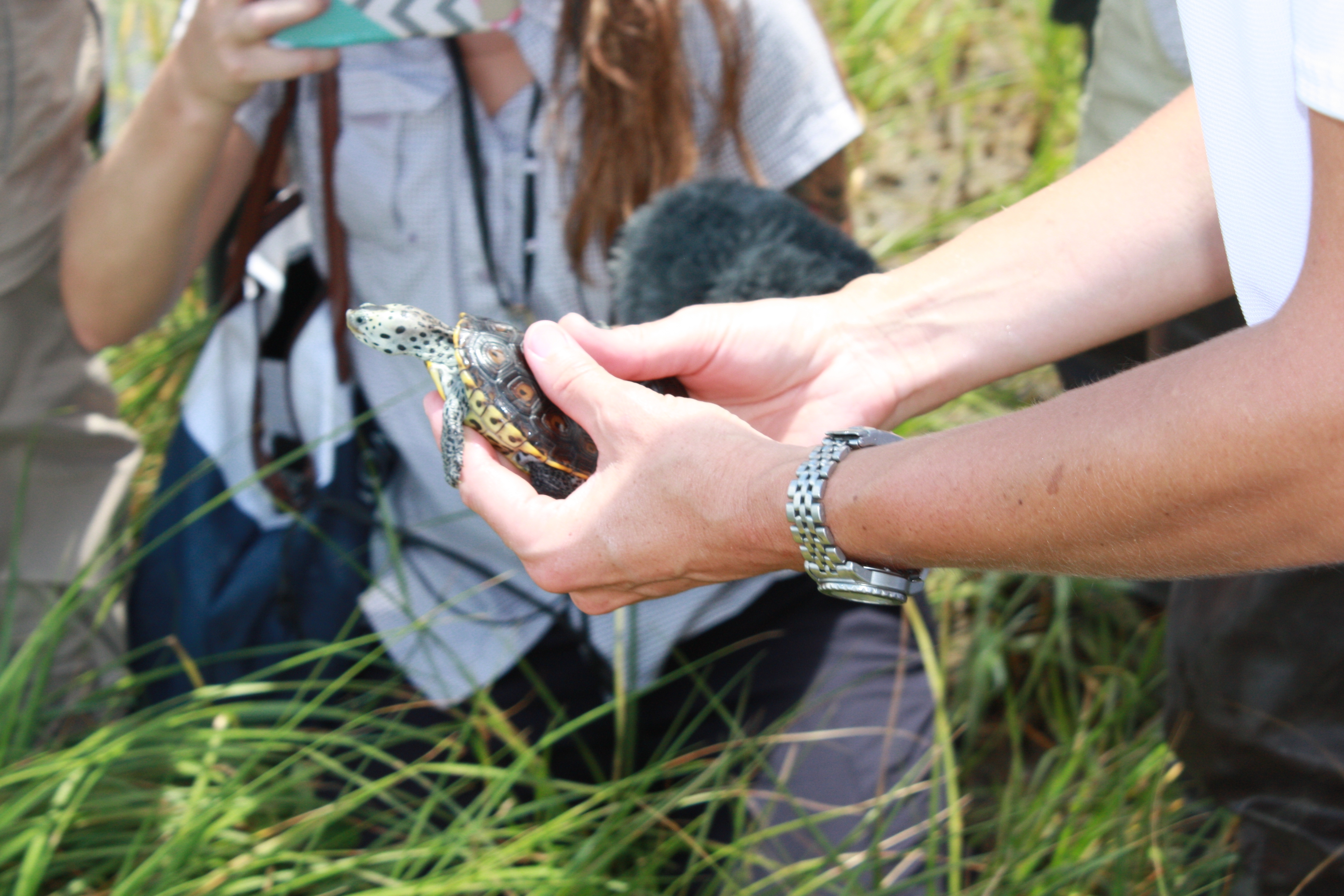 diamondback terrapins are released into the marsh at Chenier Ronquille barrier island