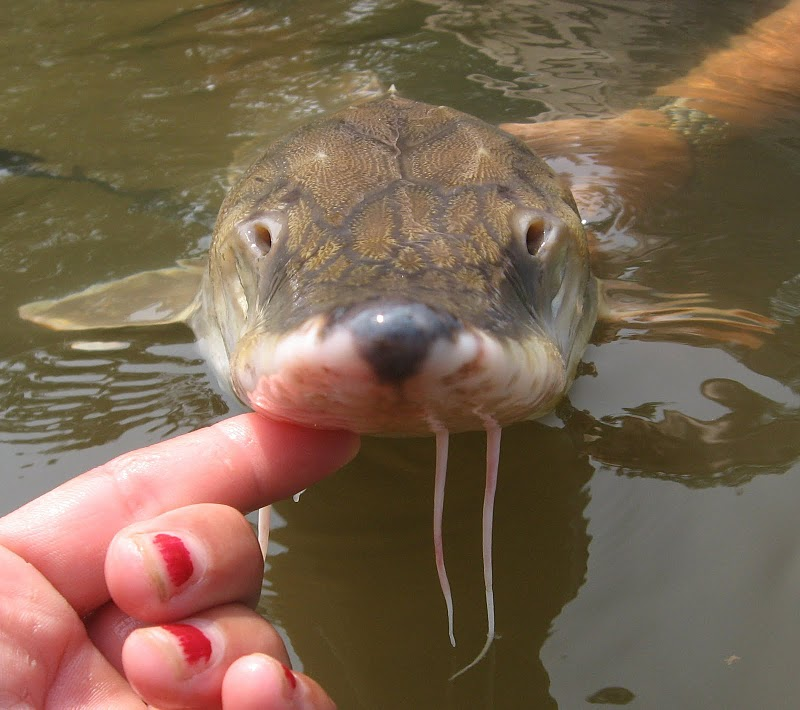 A scientist's hand holds up a small fish on the surface of water.