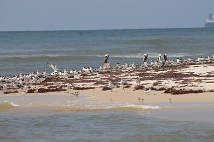 Least terns on the beach in Mississippi