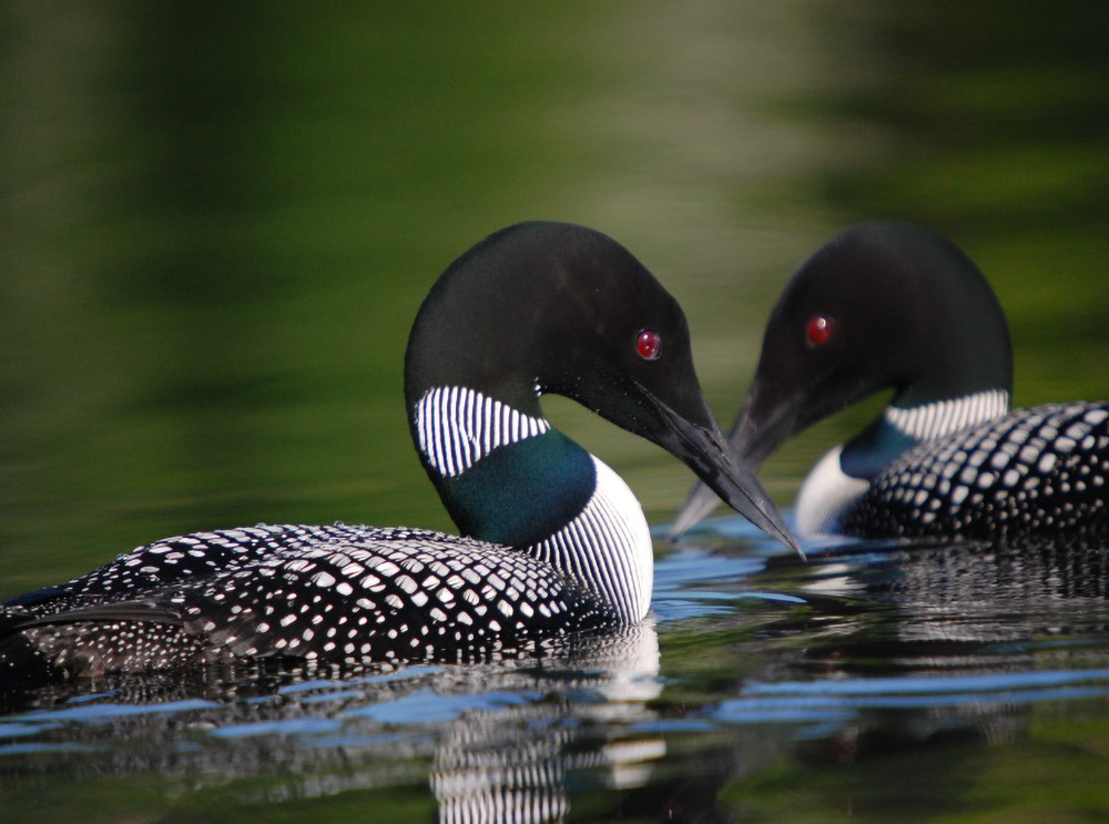 A common loon. Credit: USFWS
