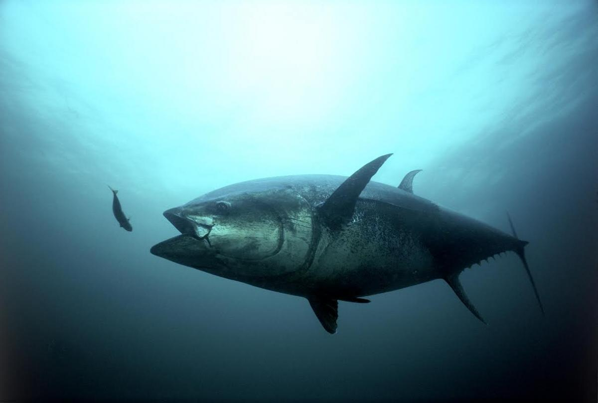 Bluefin tuna swimming
