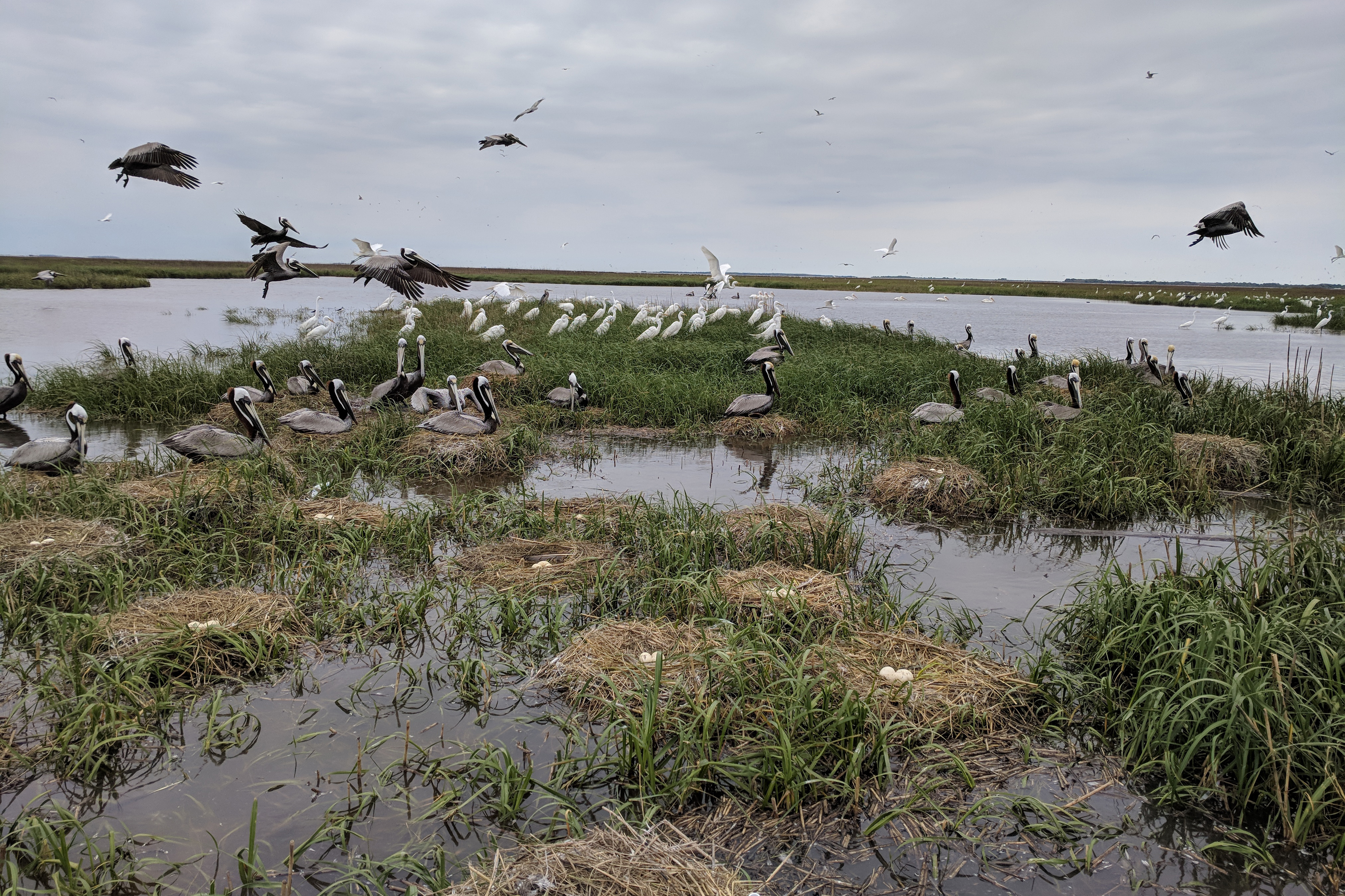 Pelicans nest on and fly over marsh and grass habitat on Louisiana's Rabbit Island.
