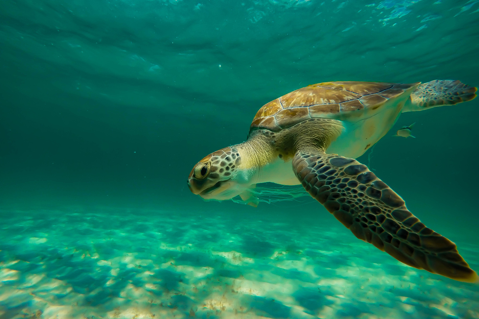 A sea turtle swimming underwater in the Gulf of Mexico