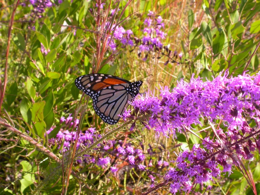 A monarch butterfly rests on a liatris at St. Joseph Bay State Buffer Preserve