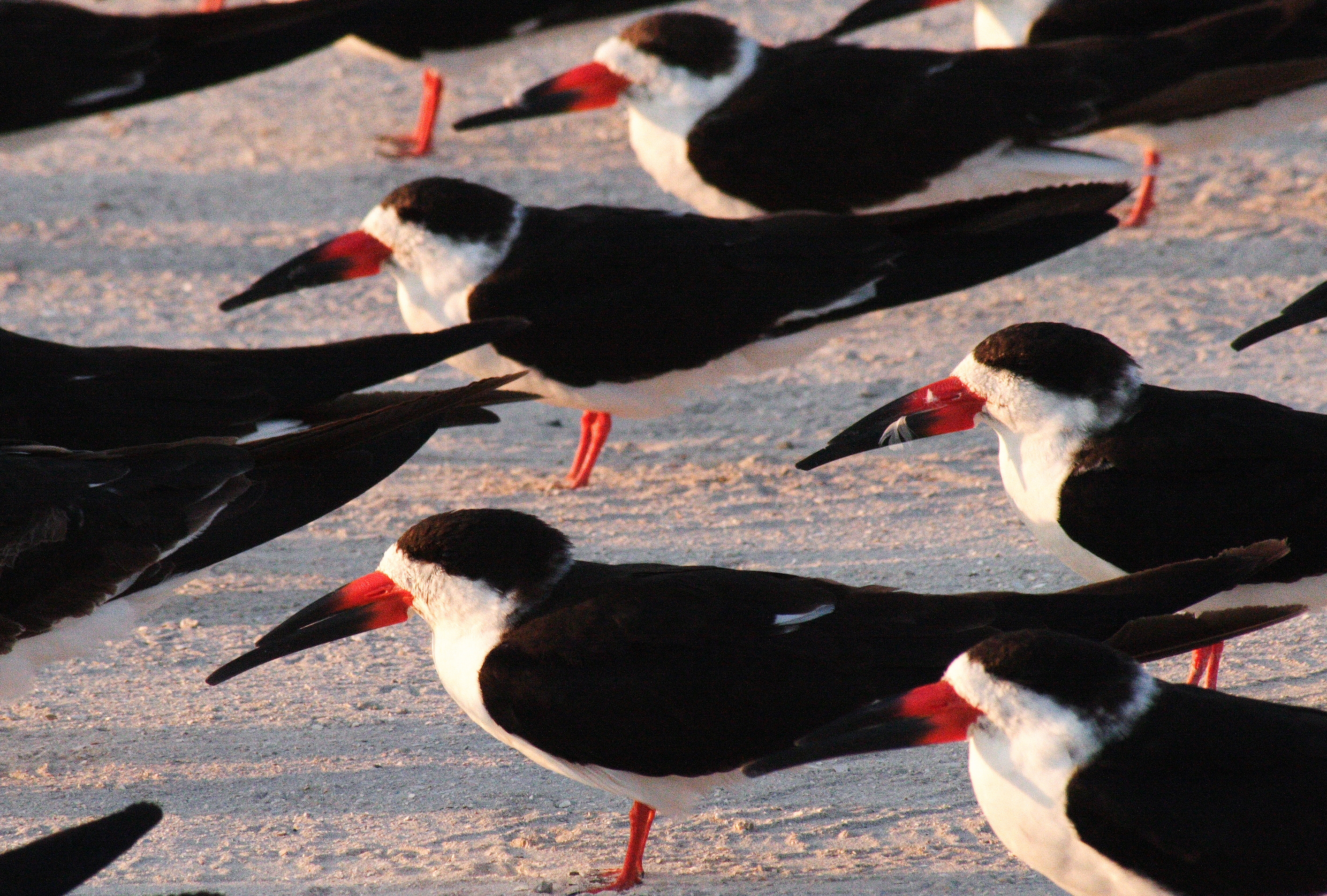 Black skimmers, colorful colonial nesting birds, on a beach in Florida. Image: Florida Fish and Wildlife