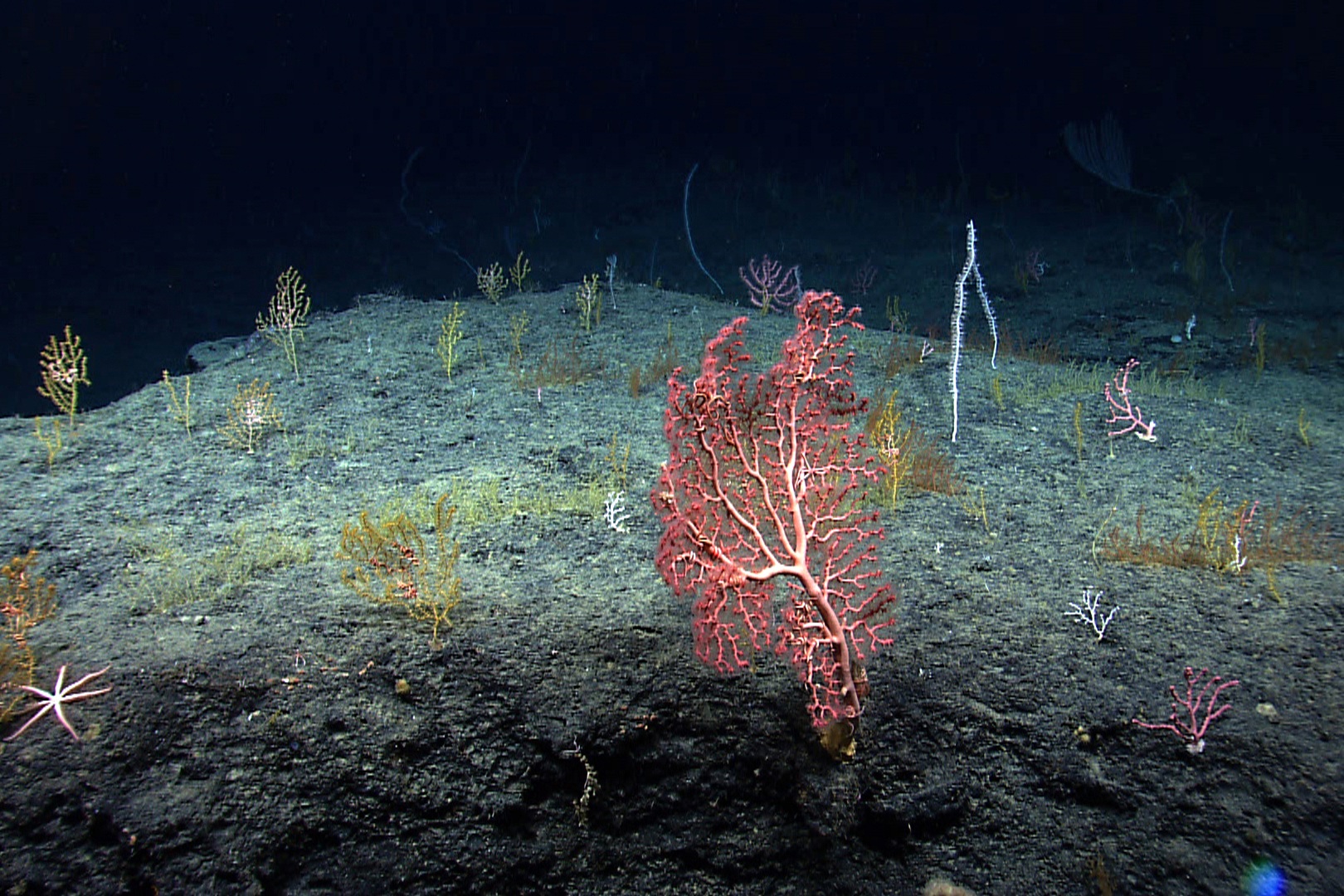 Underwater image of colorful deep sea corals in the Gulf of Mexico.