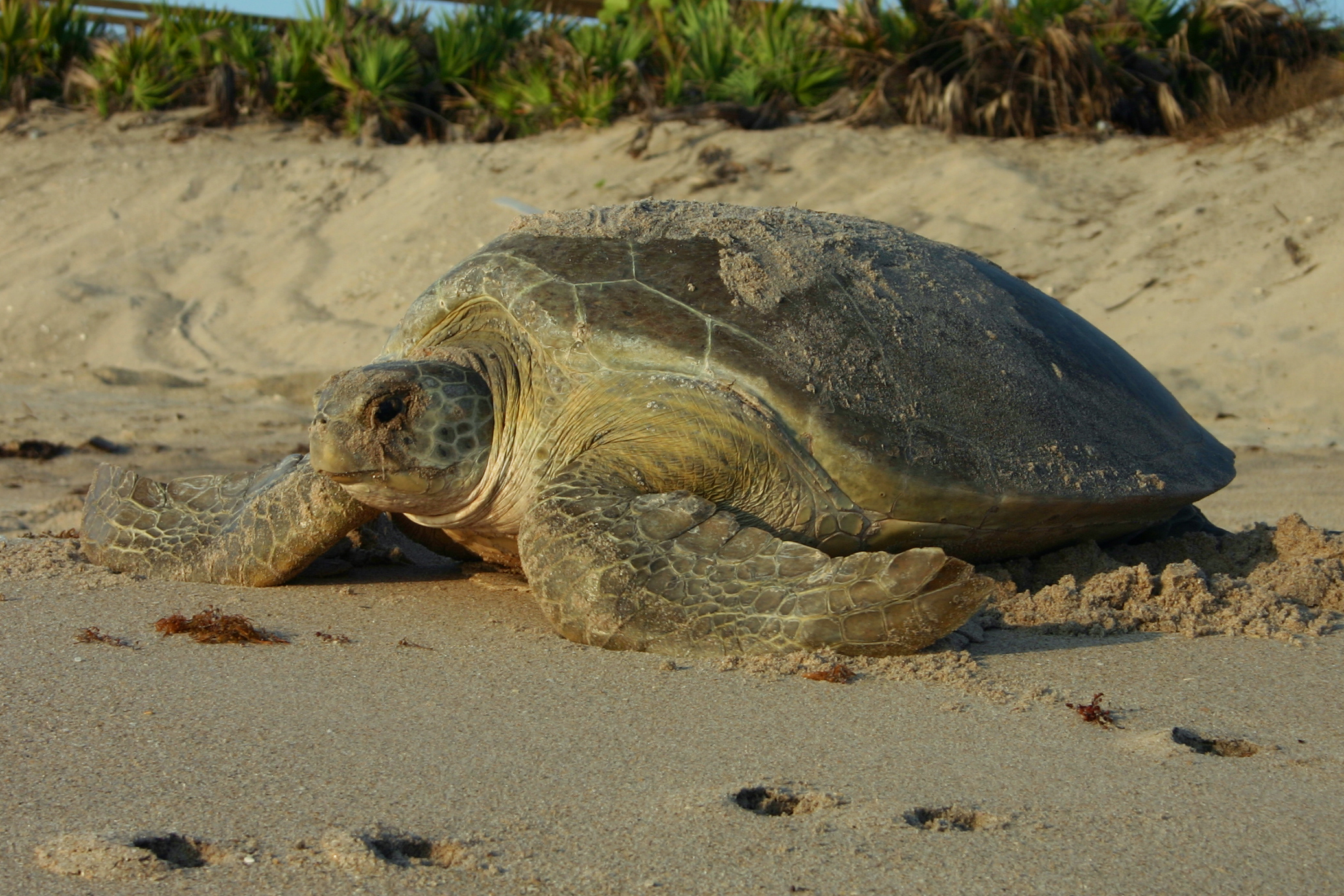 A large turtle sits on a beach. Image: Florida Fish and Wildlife