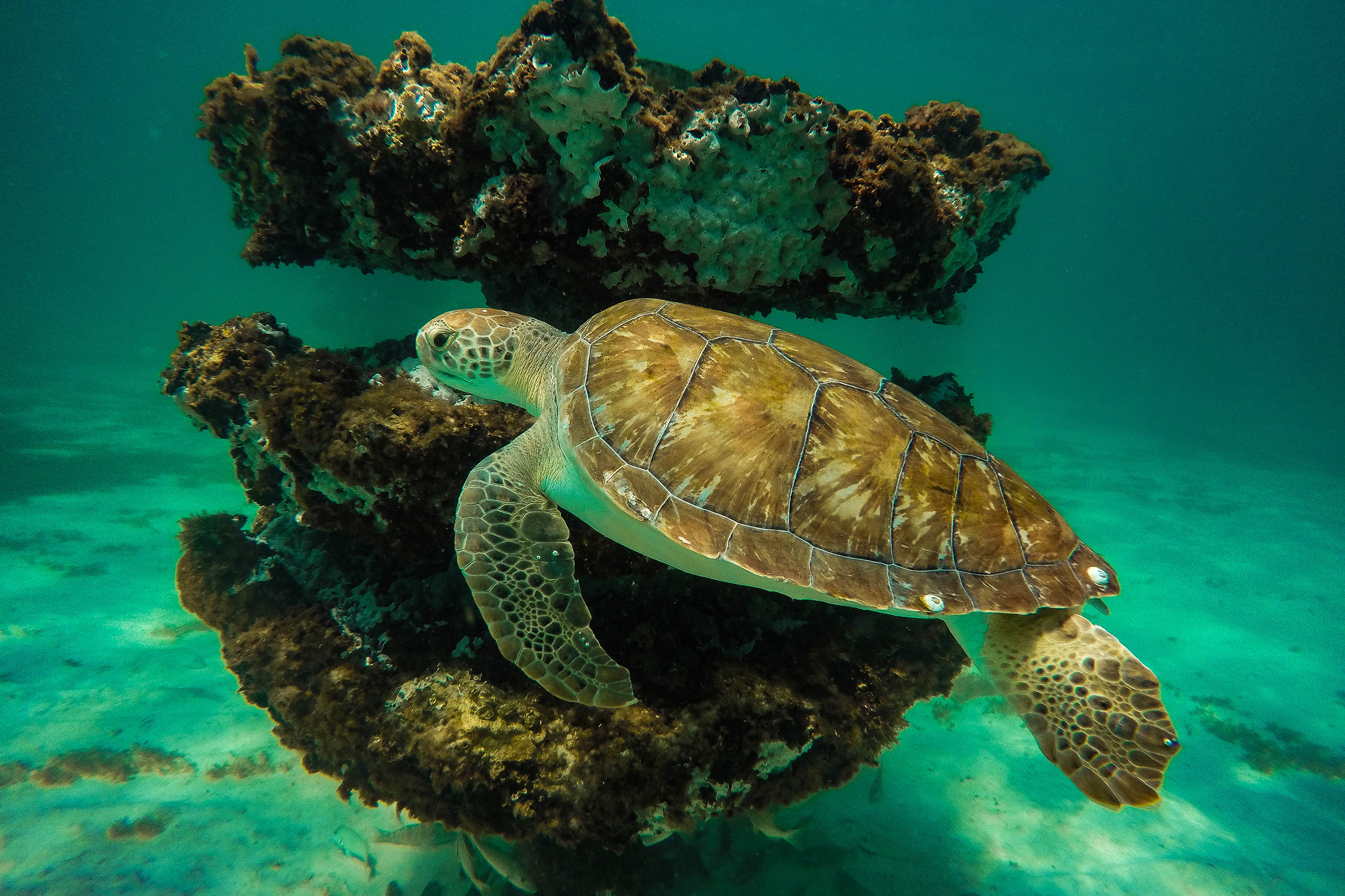 Green turtle swims by an artifical reef in the Gulf of Mexico. Image: Florida Fish and WIldlife