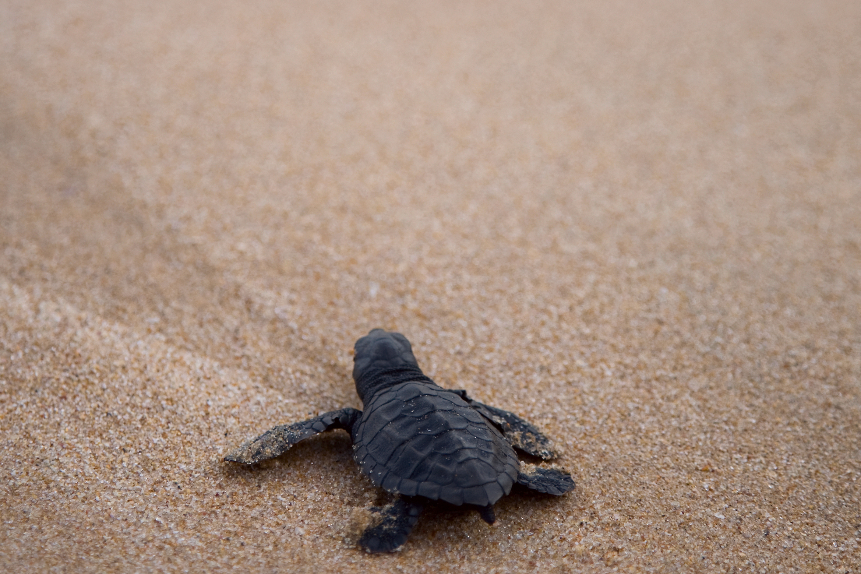 A sea turtle hatchling in the sand.