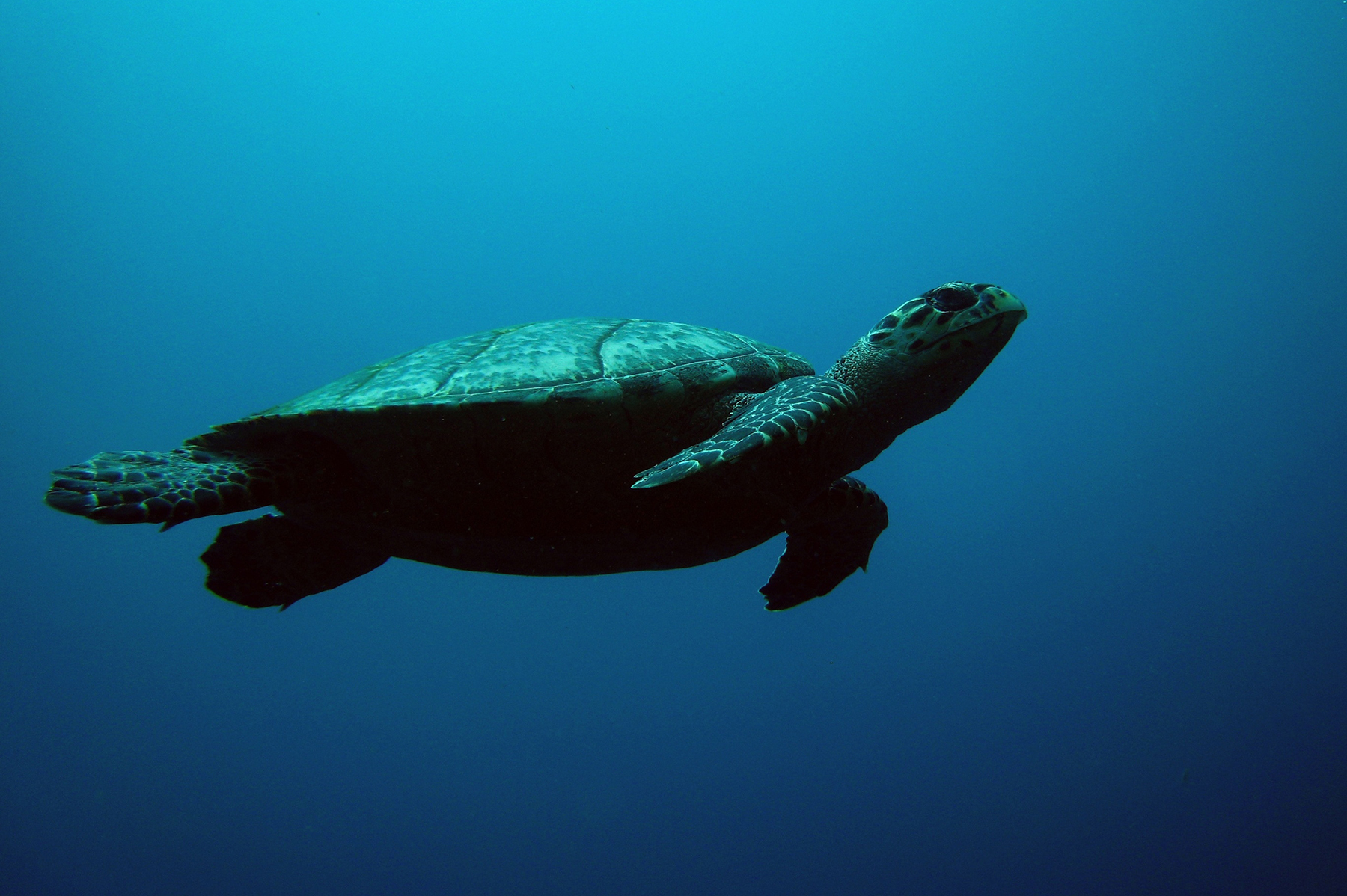 hawksbill turtle swimming underwater