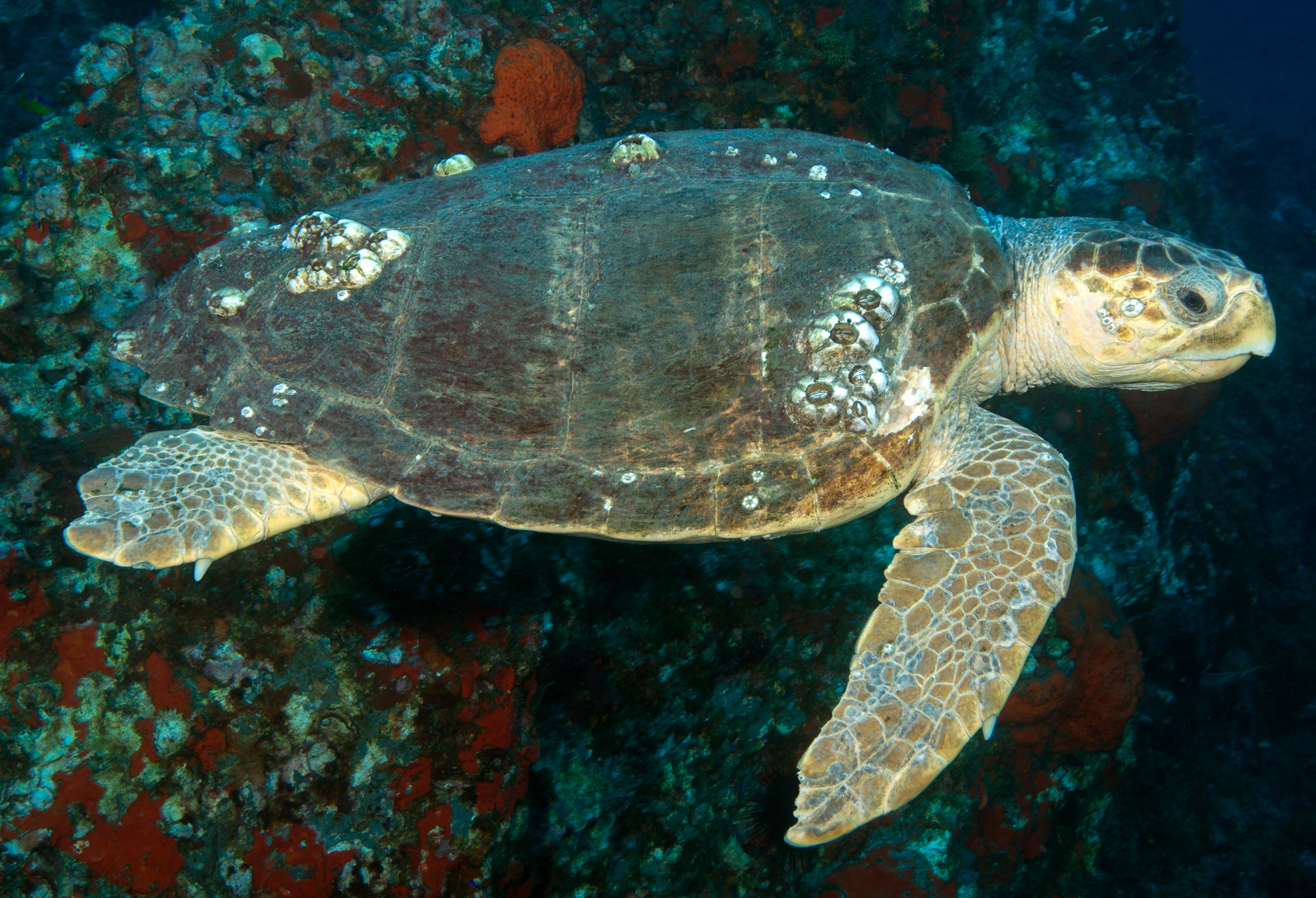 Loggerhead turtle with rocky reef behind it.