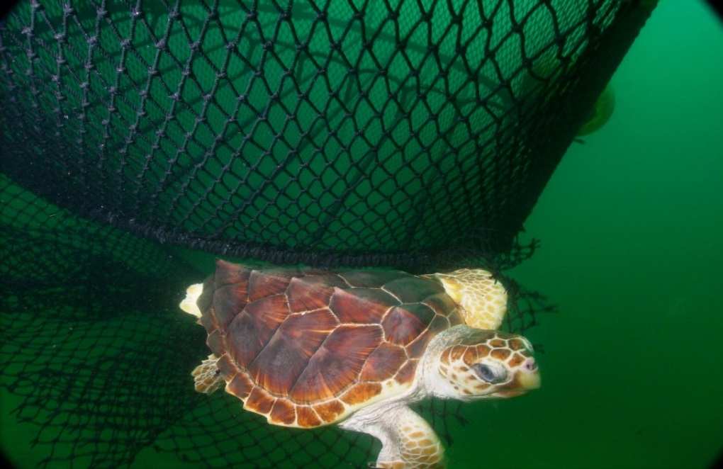 Sea turtle and net