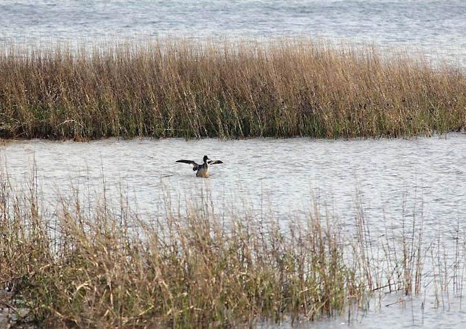 pelican shoreline
