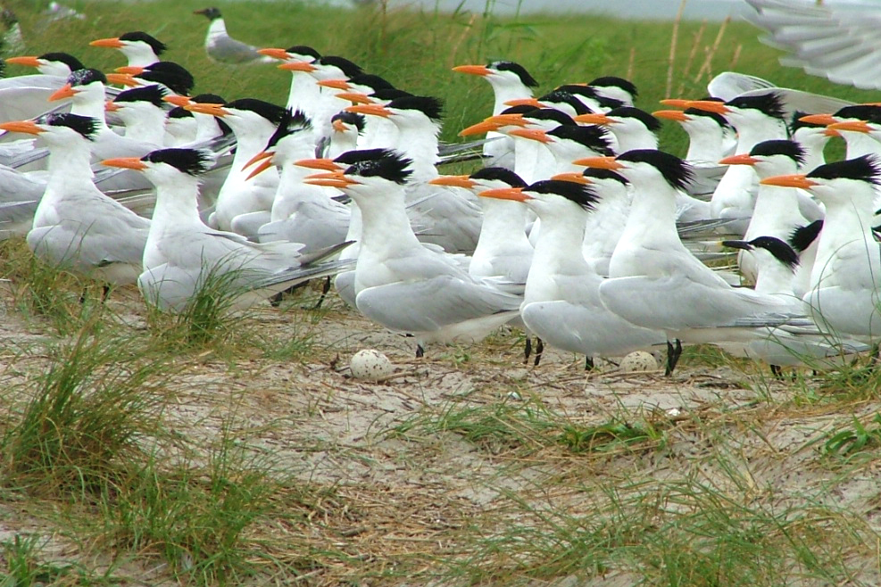 A flock of colorful royal terns congregating in grassy dune habitat on a barrier island in the Gulf of Mexico.