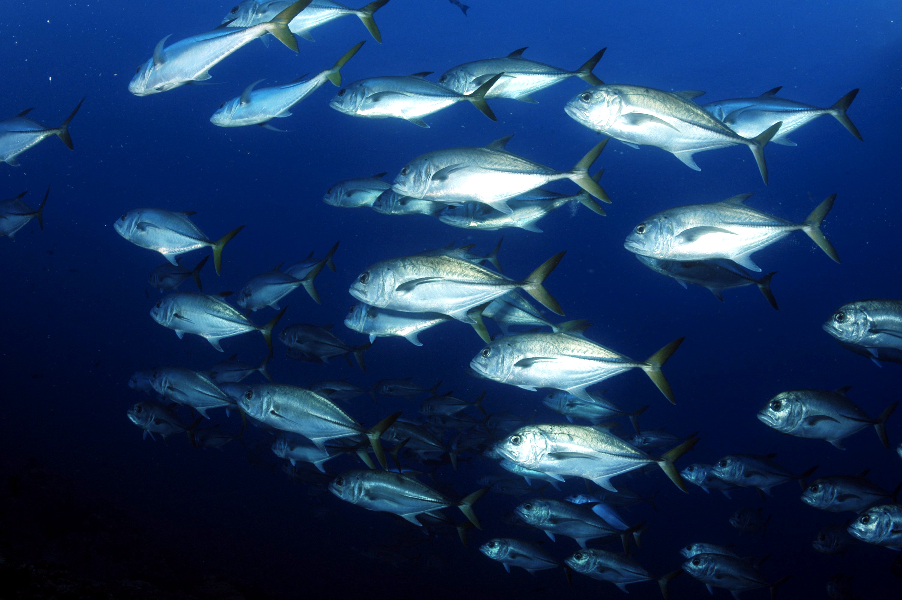 A school of Horse-eye jacks in Flower Garden Banks National Marine Sanctuary in the Gulf of Mexico.