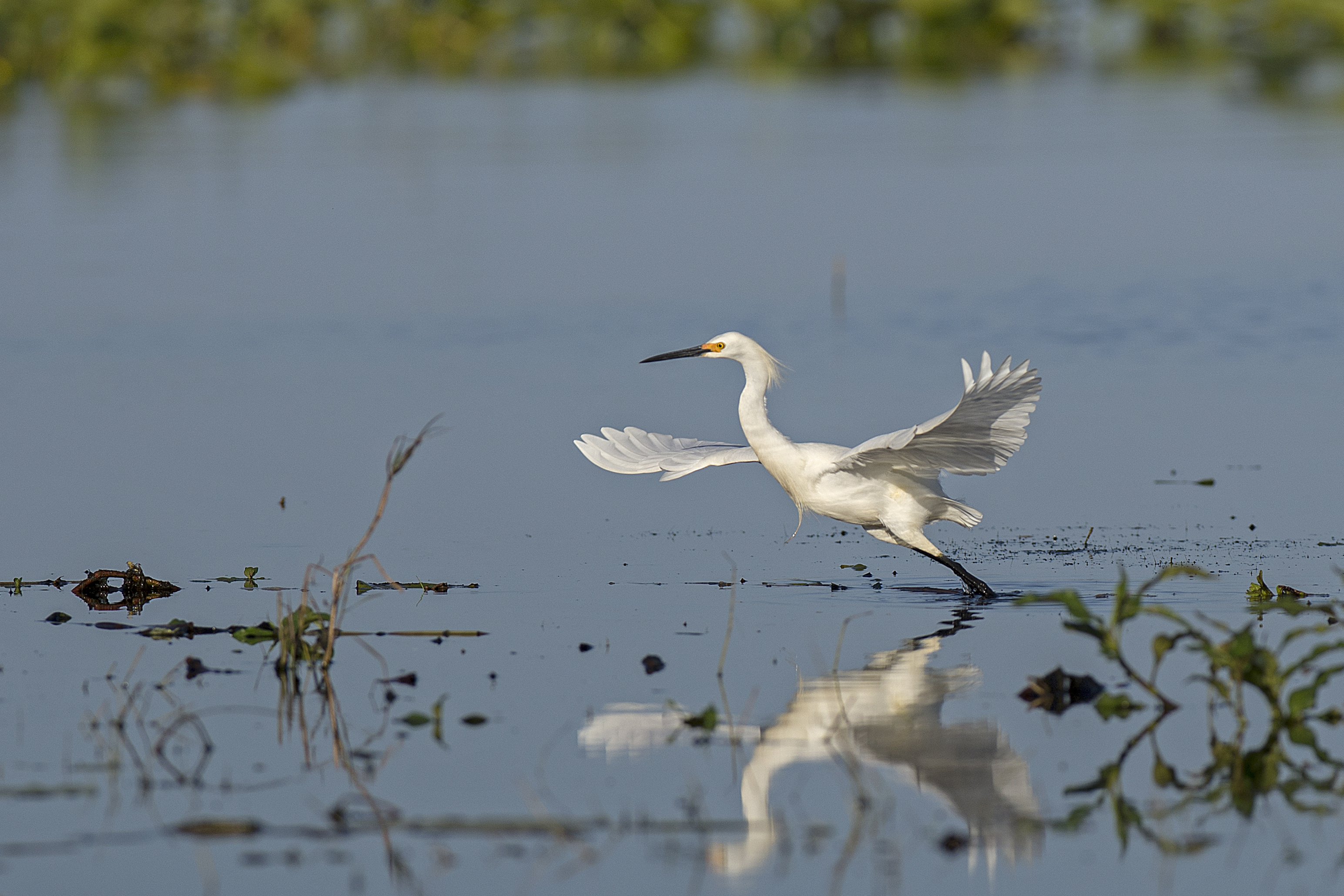 Snowy egret starts its flight above Gulf of Mexico Waters. FWC photo by Andy Wraithmell