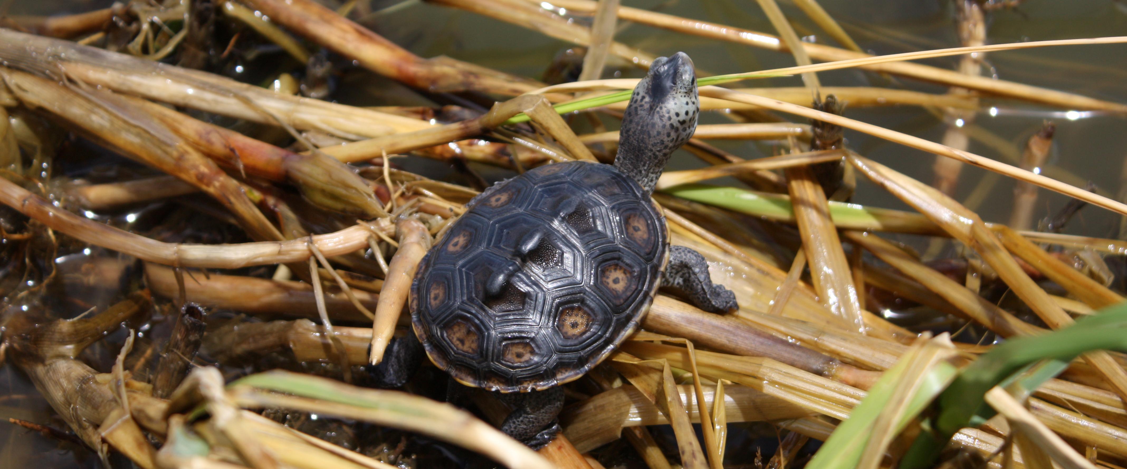 Terrapins Released on Restored Louisiana Barrier Island