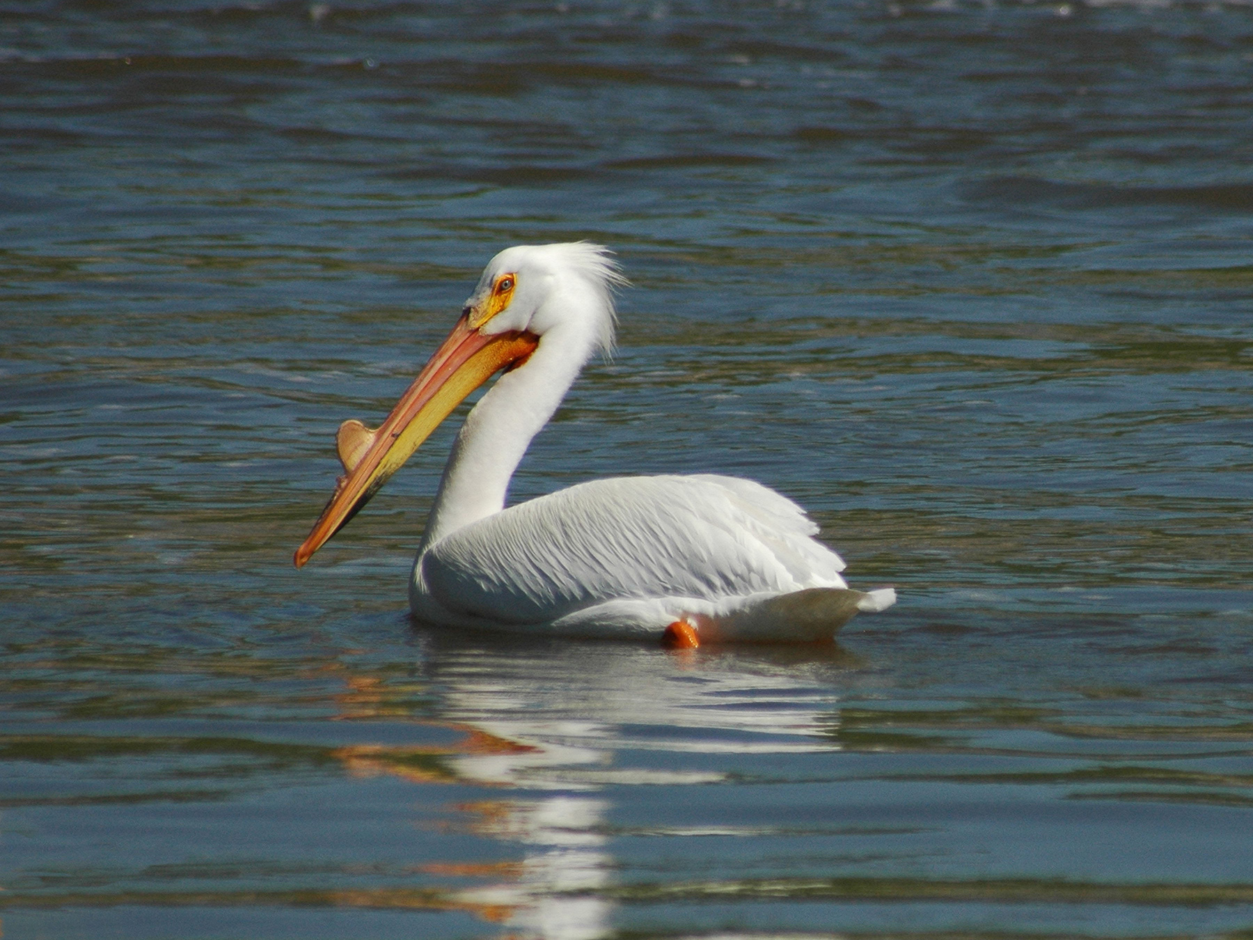 White Pelican in the Gulf of Mexico. Credit: U.S. Dept. of Interior