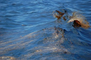 oil in the wake of a boat in the Gulf of Mexico